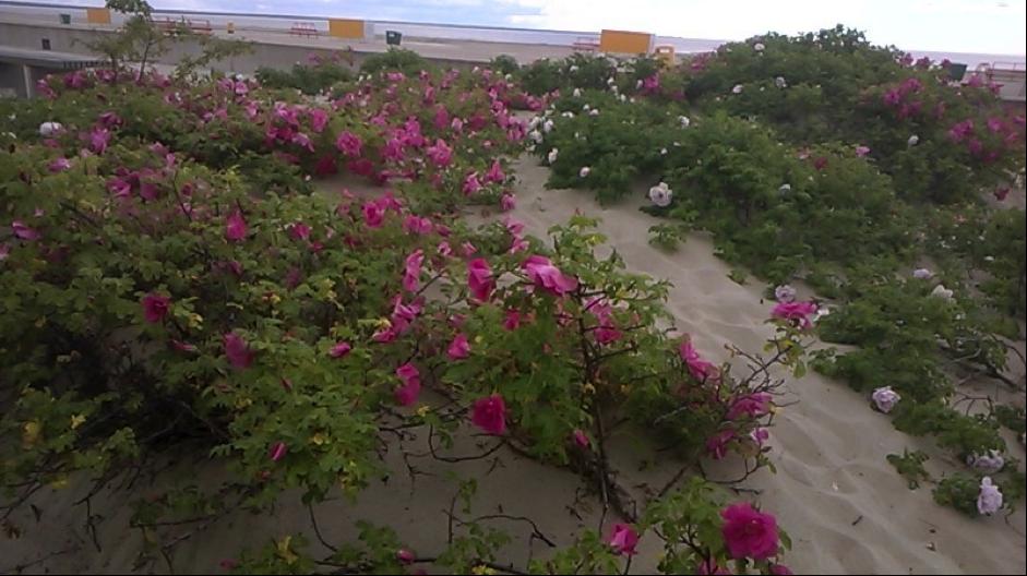Pärnun ruusuja. (Kuva Marjatta Puustinen)